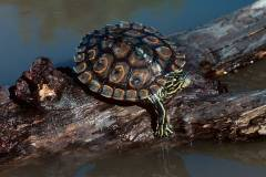 Ringed Map Turtle